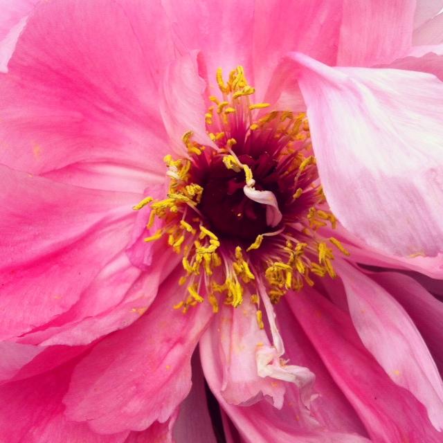 Pink peony ©2014 Rita Rivera