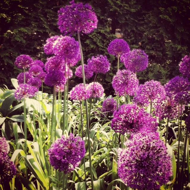 Allium ©2014 Rita Rivera