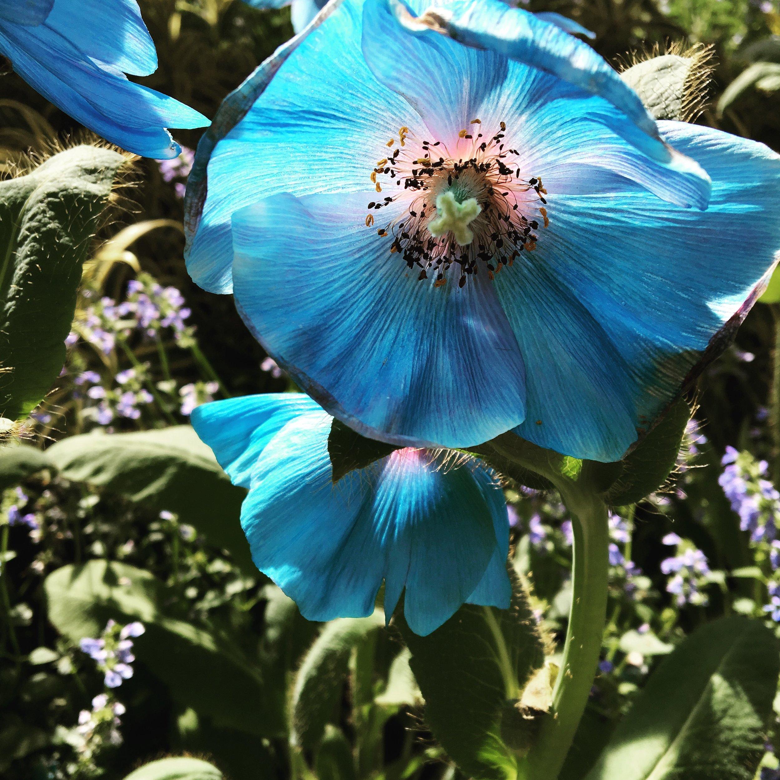 Blue Poppies, Longwood Gardens, PA