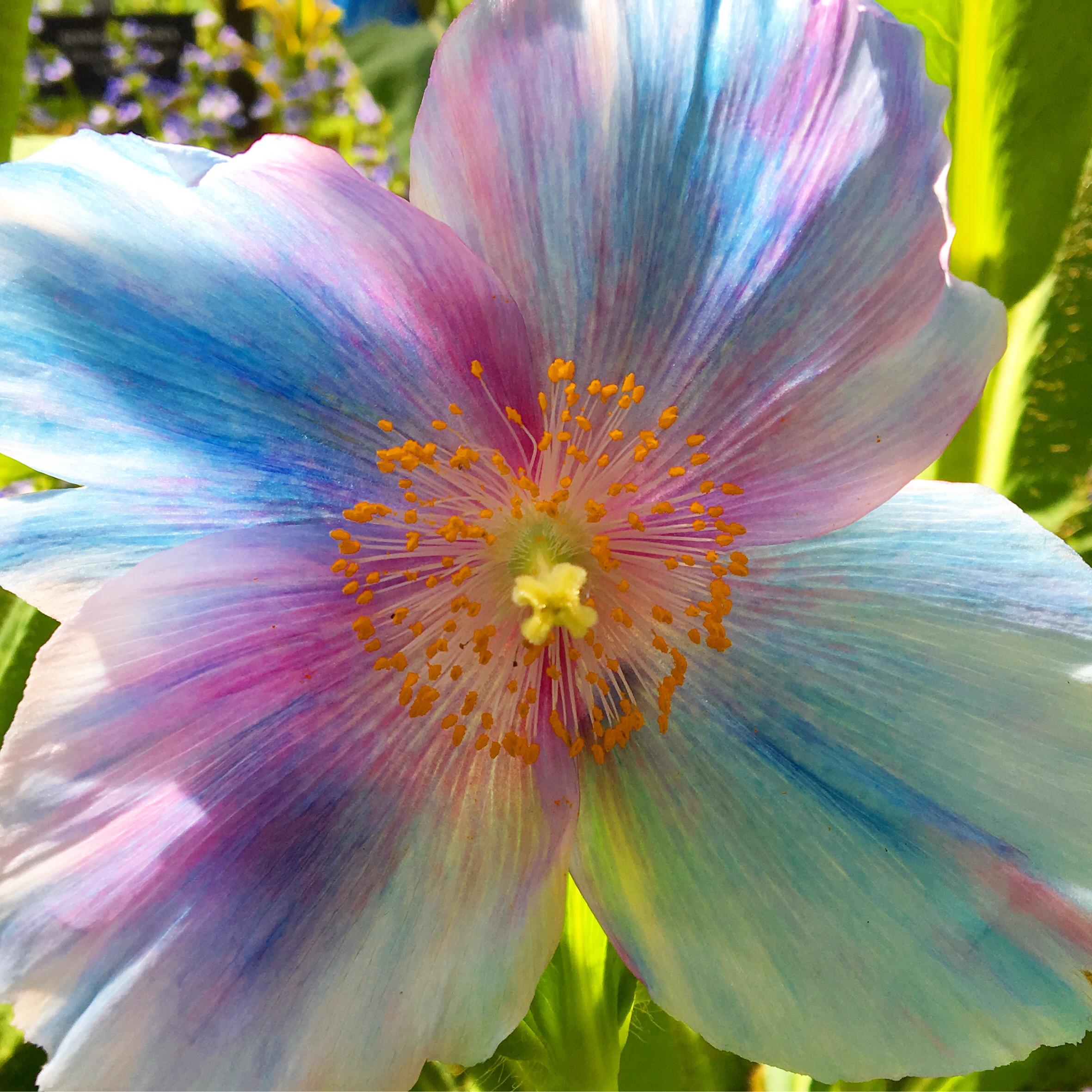 Blue Poppy, Longwood Gardens, PA
