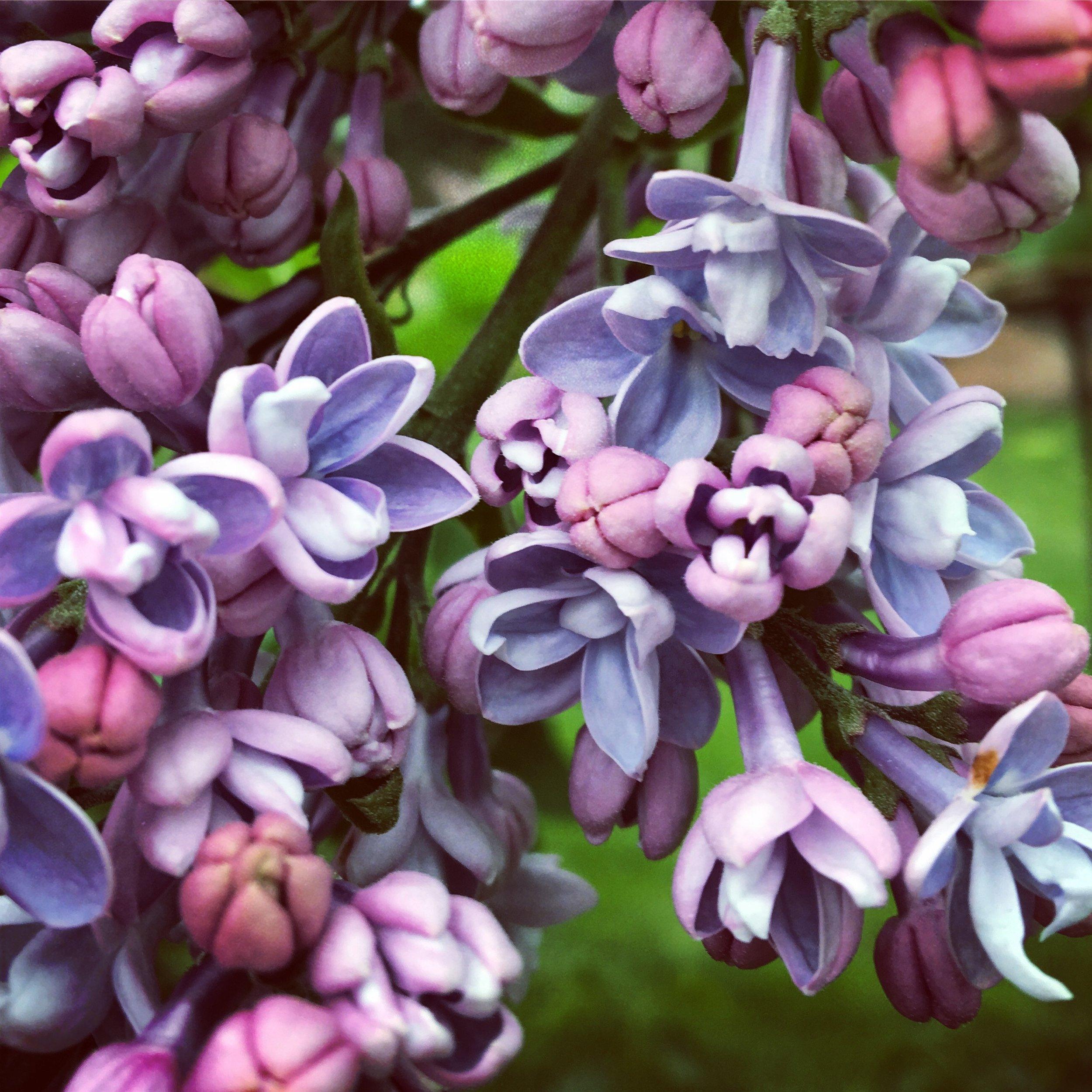 Lilacs, NYBG, Bronx, NY