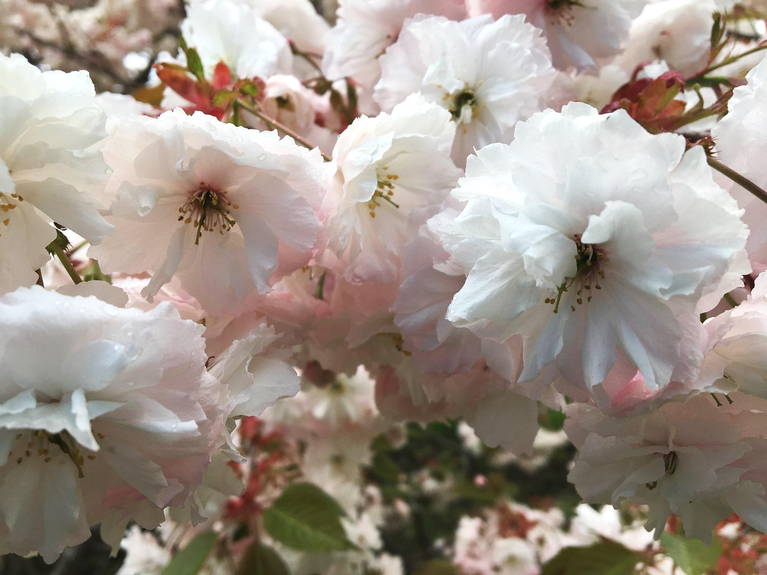 Cherry tree blossoms, NYBG, Bronx, NY