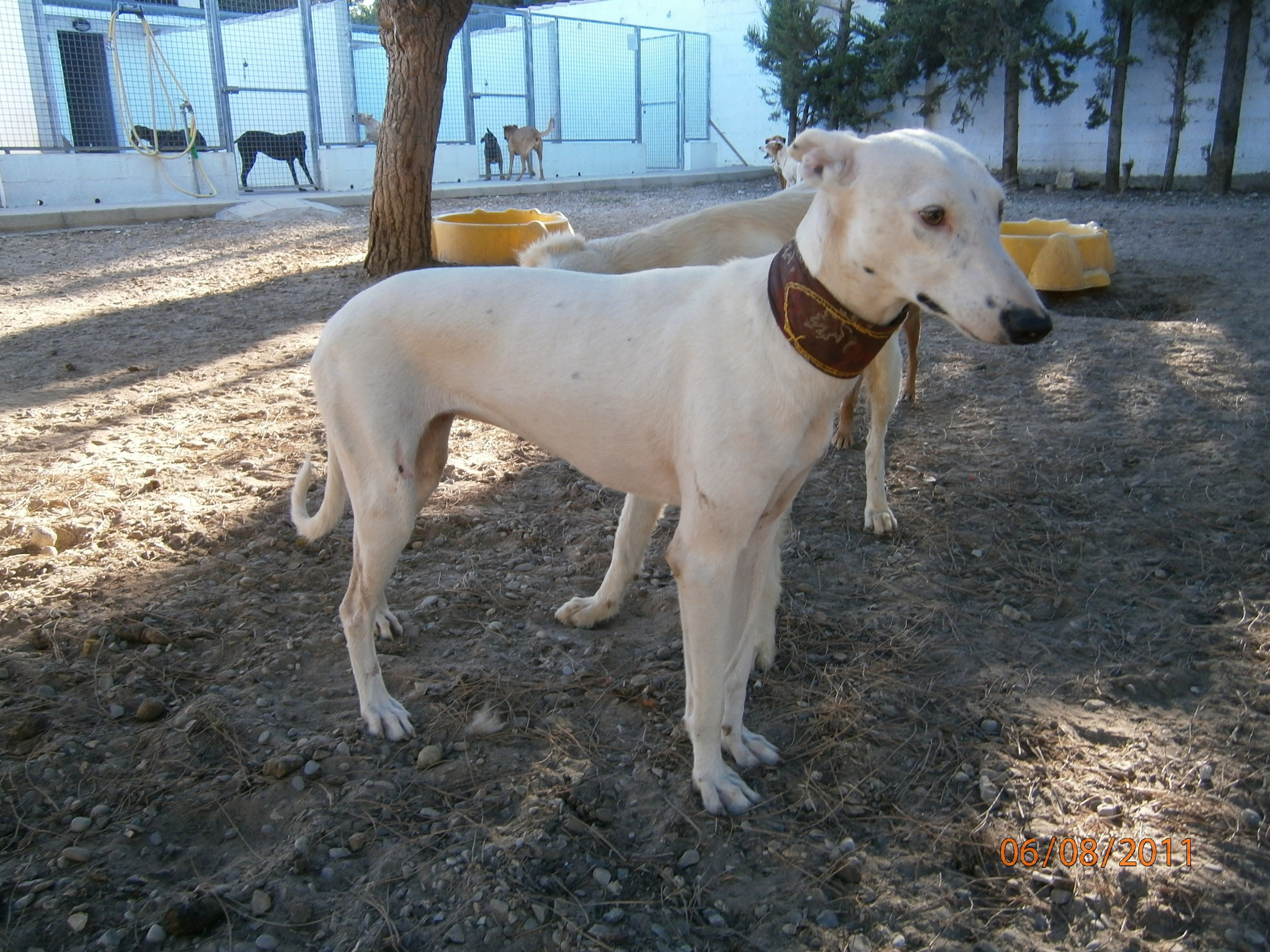 Kimba White Galgo Collar