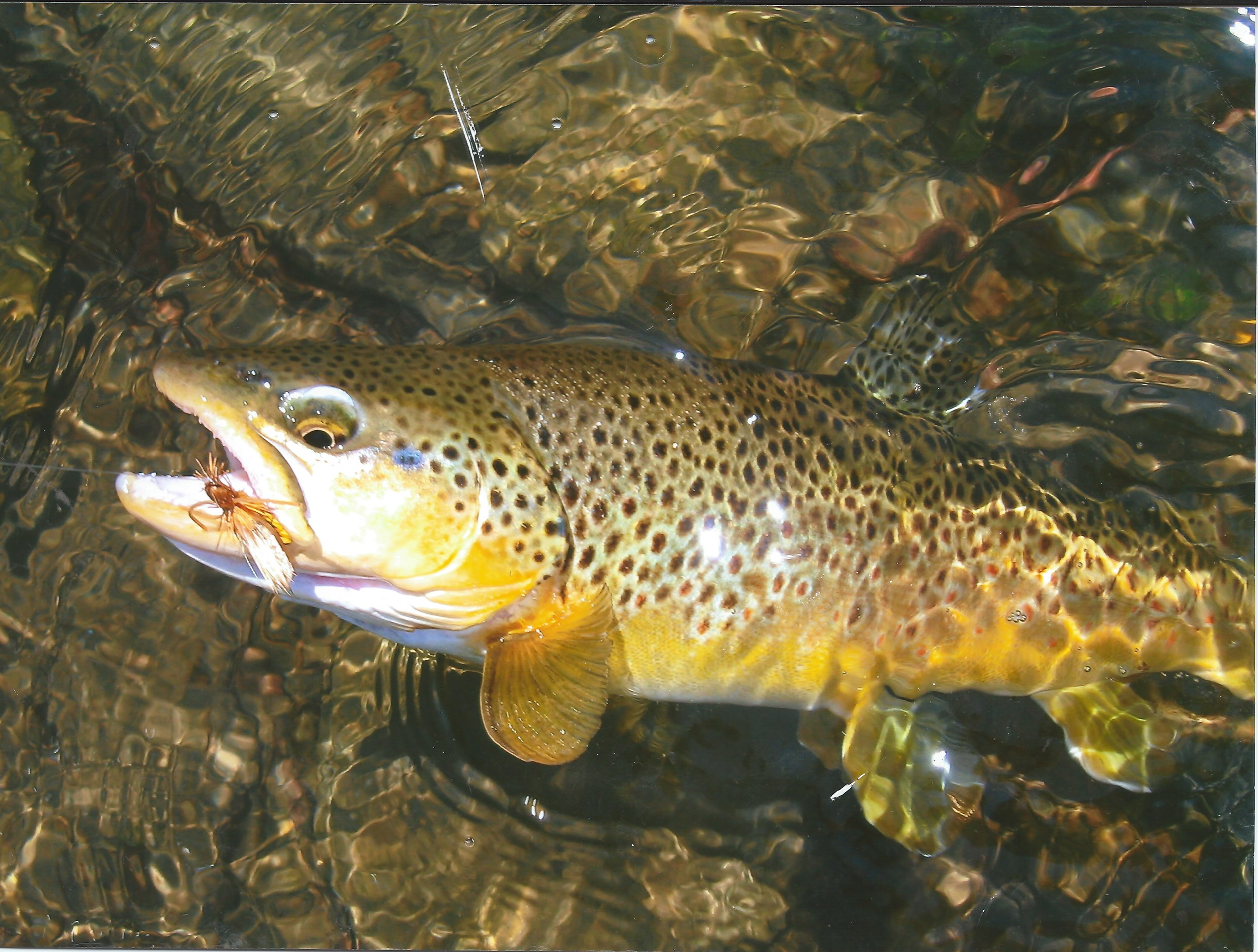 BrownTrout.jpeg