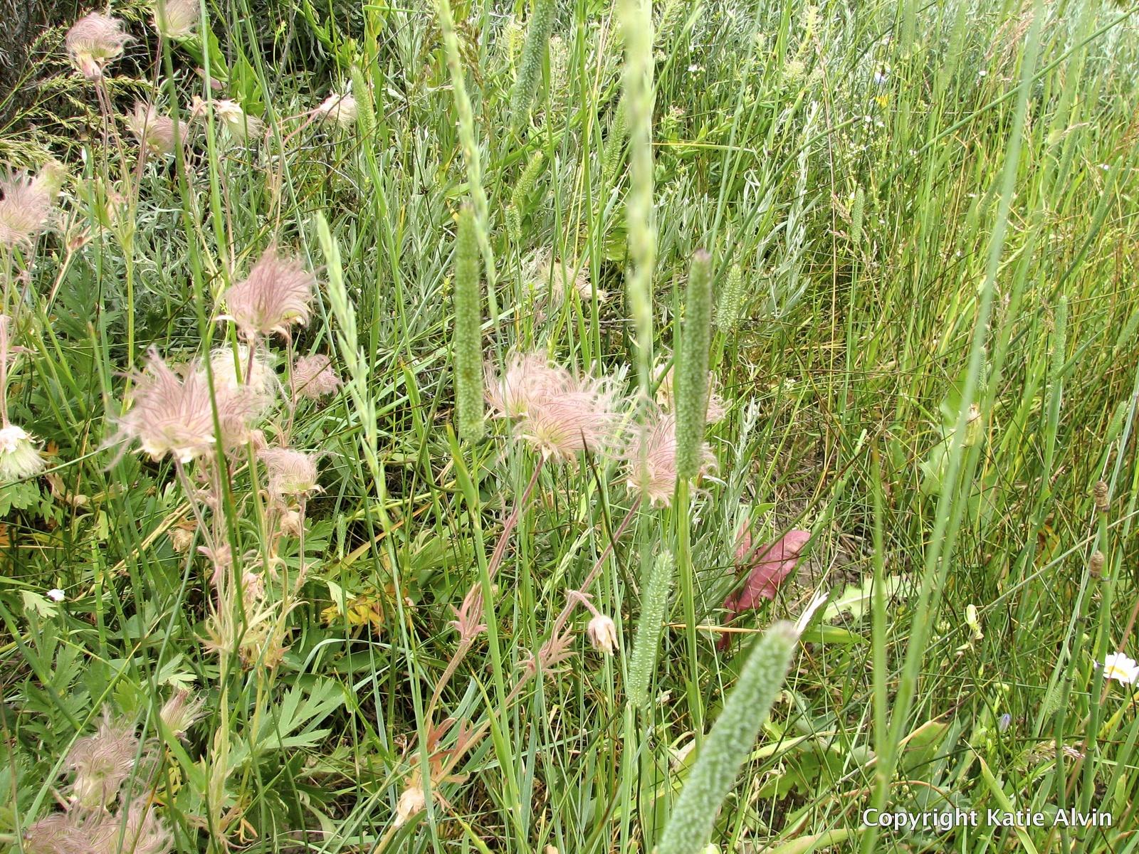 Prairie Smoke - after flowering