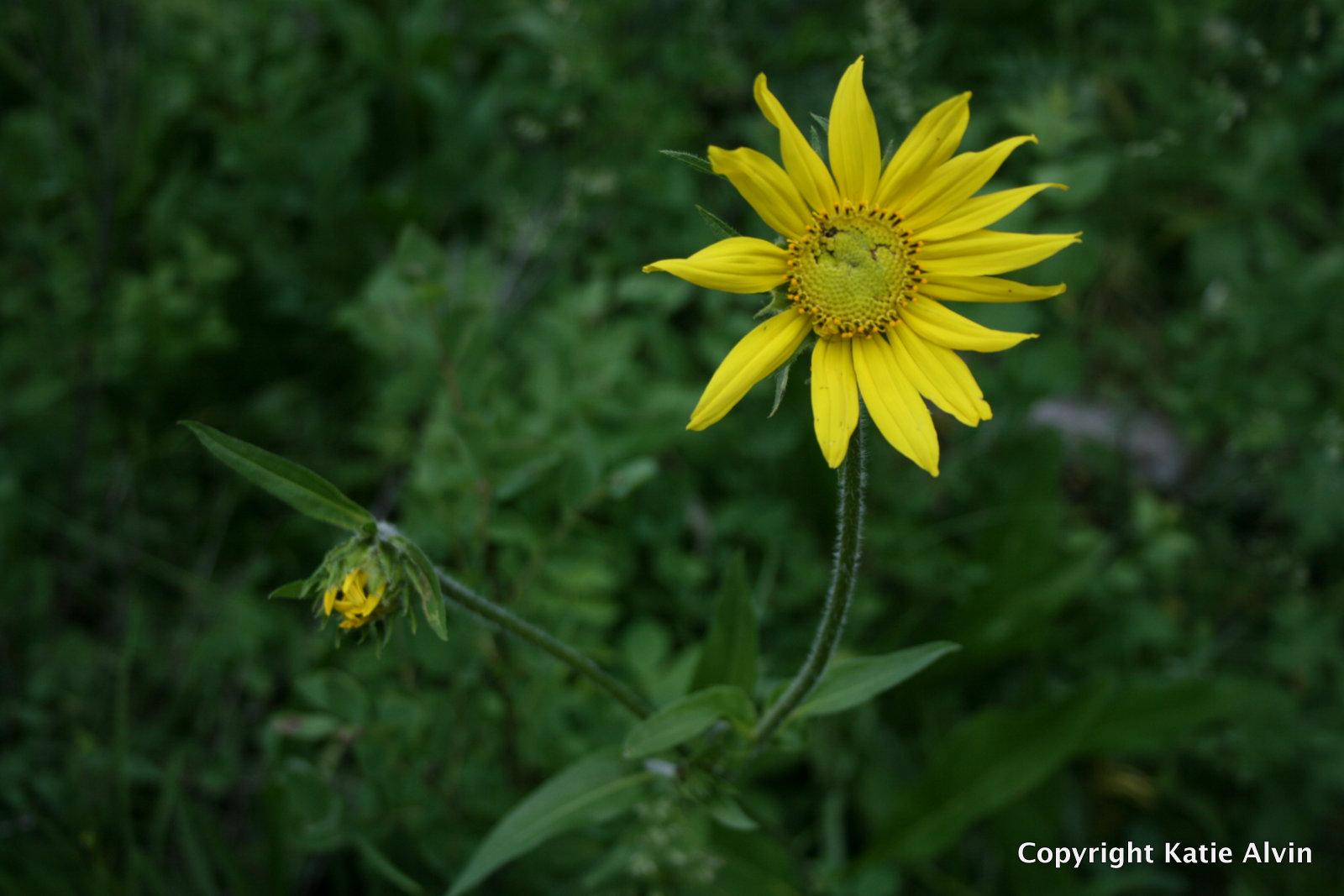Helianthella or False Sunflower