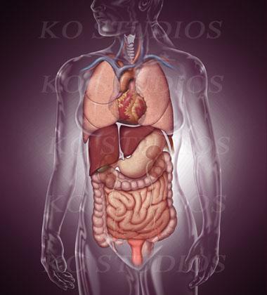 Female glass figure with internal organs