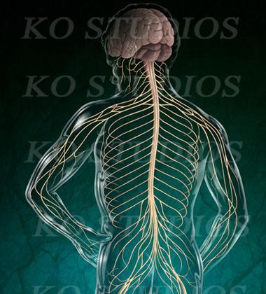 Neuroanatomy Figure