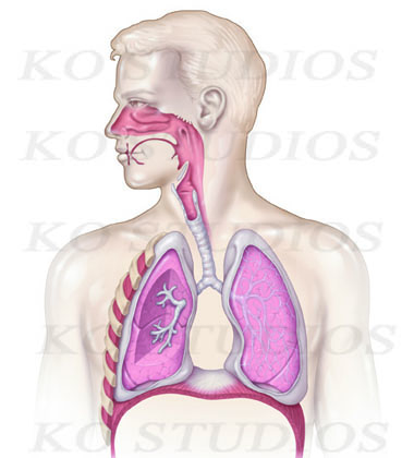 Respiratory Anatomy 2