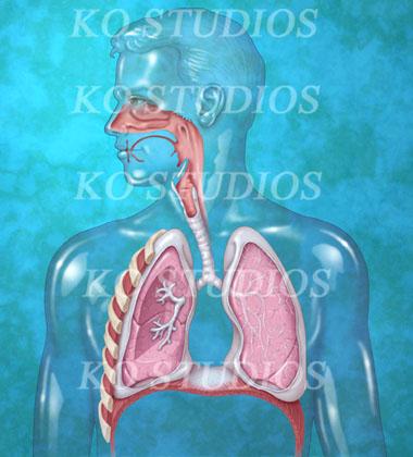 Respiratory Anatomy Teal