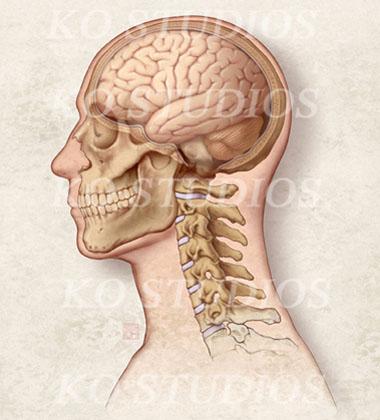 Lateral Skull and Cervical Vertebrae