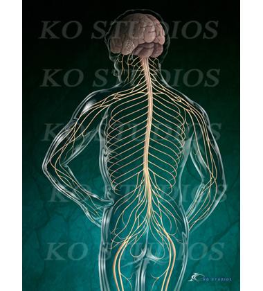 Nervous System Figure