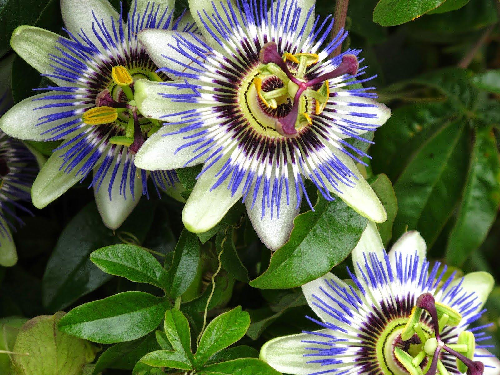 Benefits_Of_Passion_Flower_Passiflora_Incarnata_For_Health_3_9020f7f1-c74a-4bd5-98d4-6372c7cf0feb.jpg
