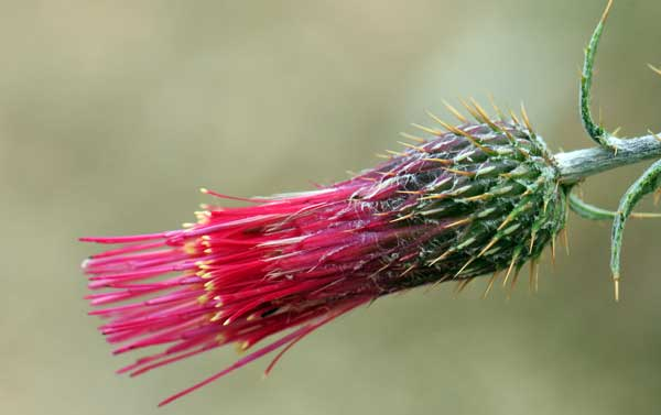 Arizona thistle, a relative of many botanicals used in Italian amaro.