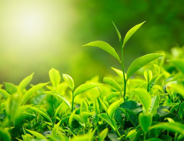 12064735-bigstock-green-tea-bud-and-fresh-leaves-26339027-6.jpg
