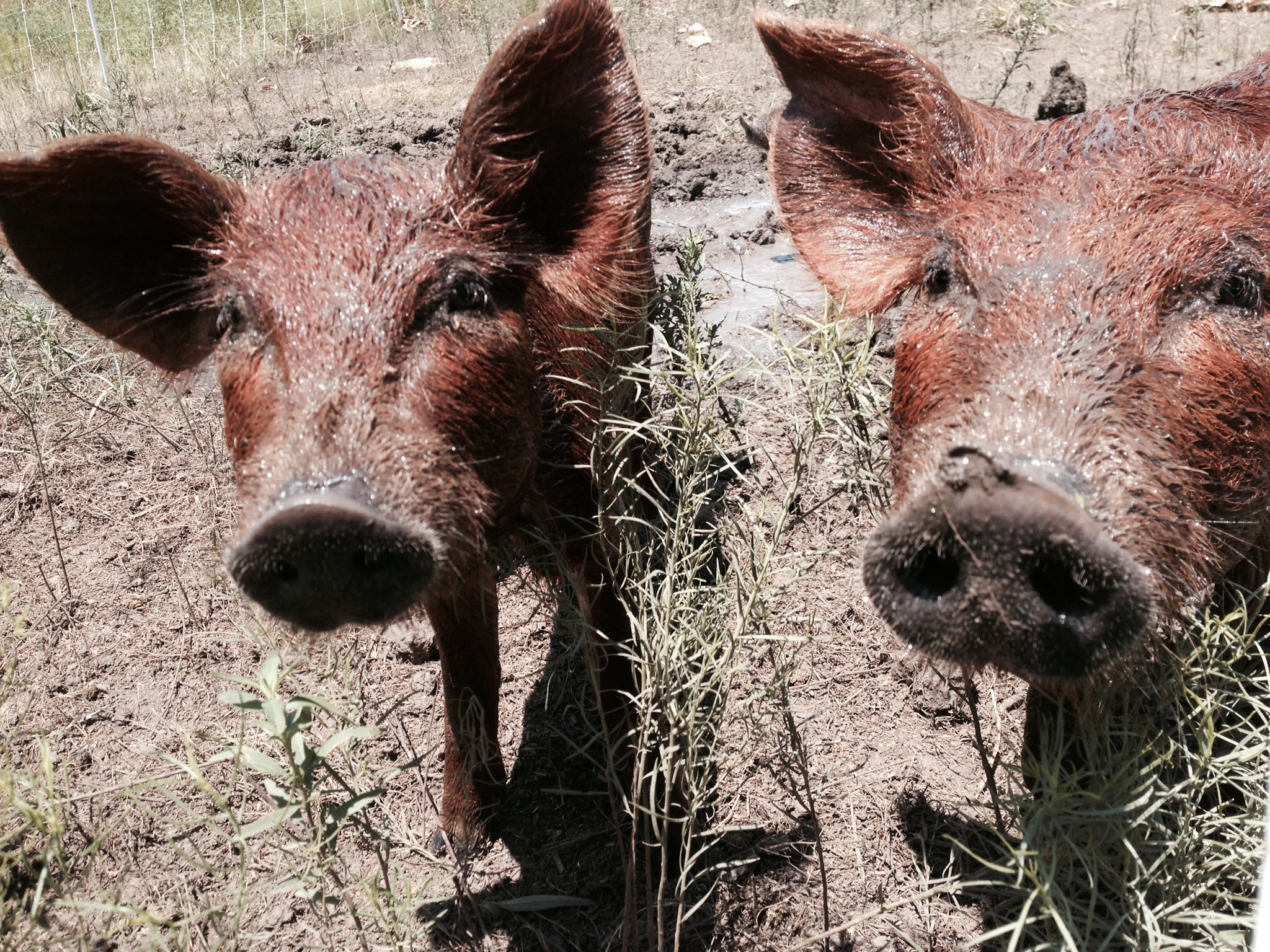 Pastured Red Wattle Pigs