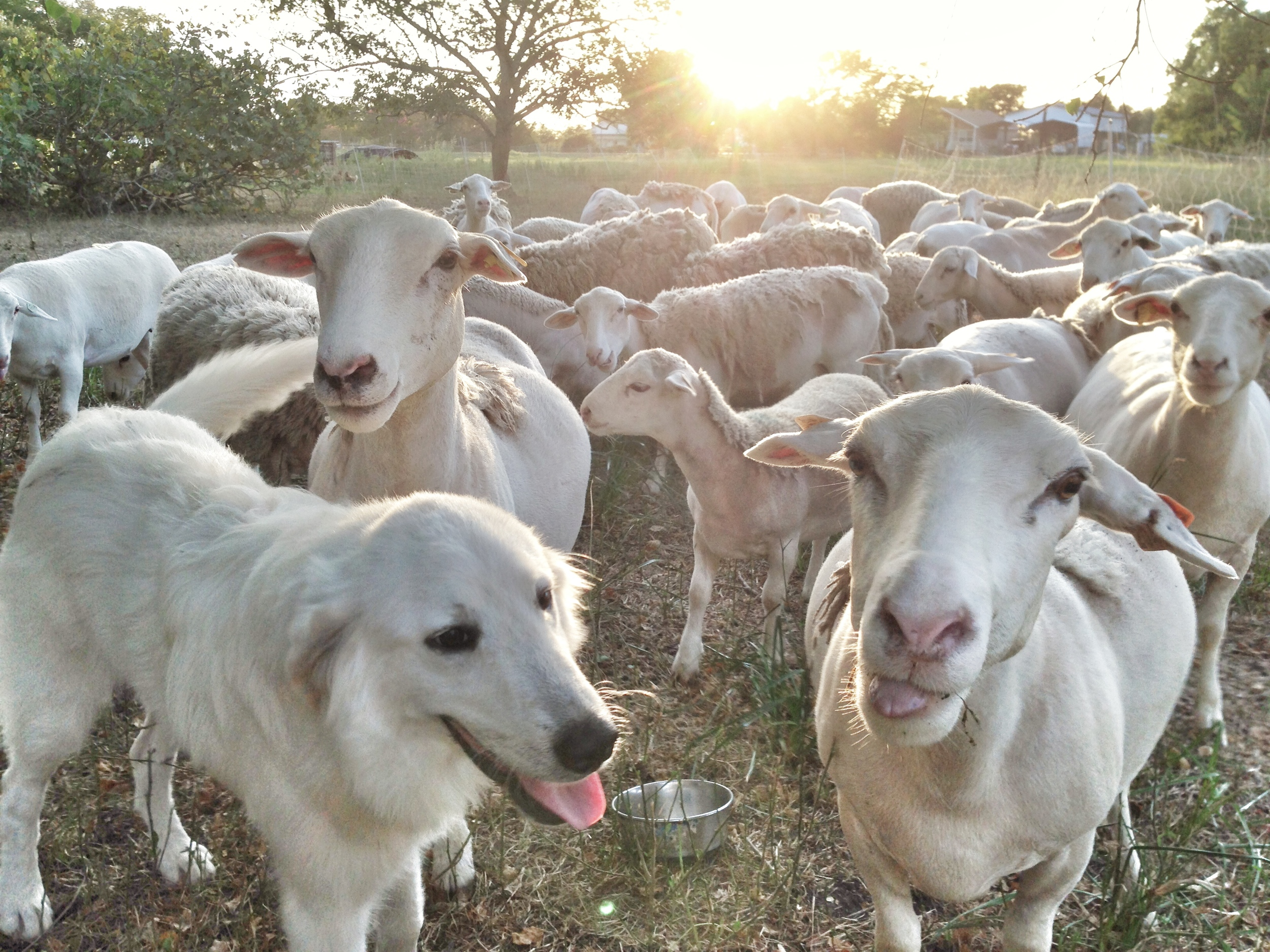 White Dorper Sheep (plus a sheepdog, in cognito).