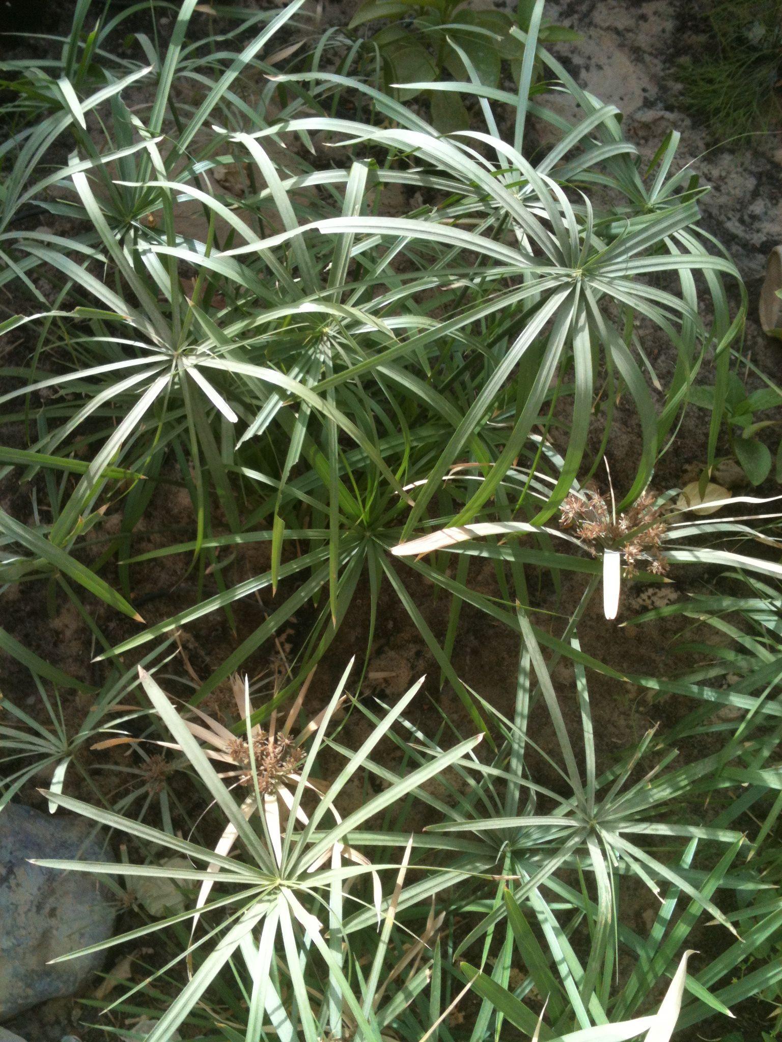 umbrella plants.jpg