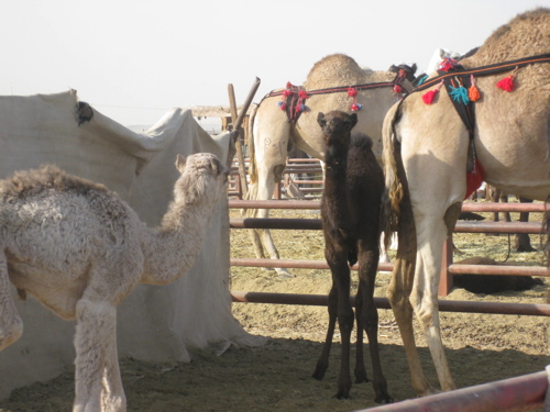 baby camels.jpg
