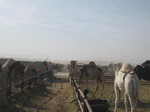 camel market.jpg