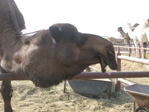 camel closeup.jpg