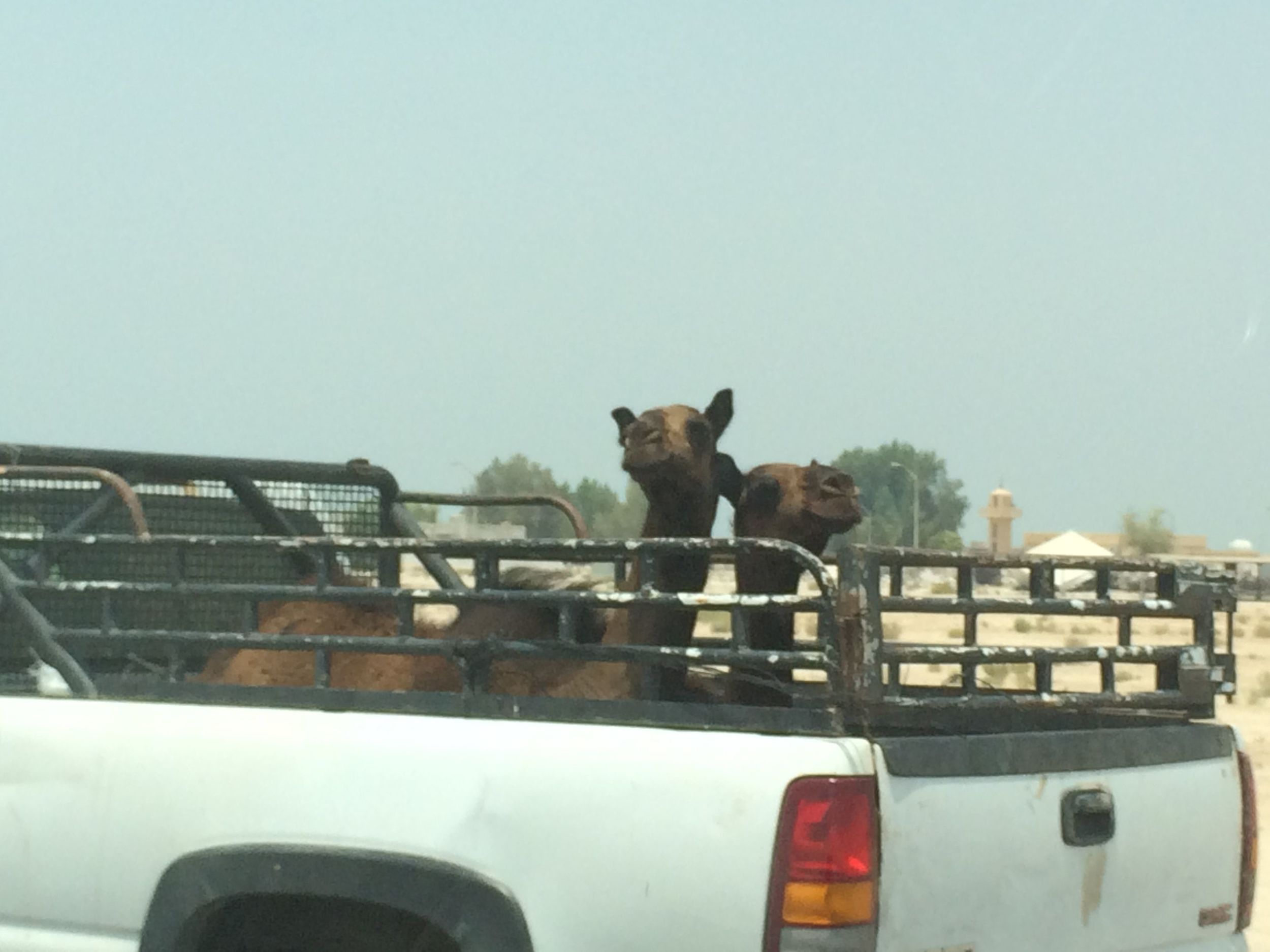 Sometimes the camels ride in truck beds. Have you ever seen  this  on 95 heading north to Boston?