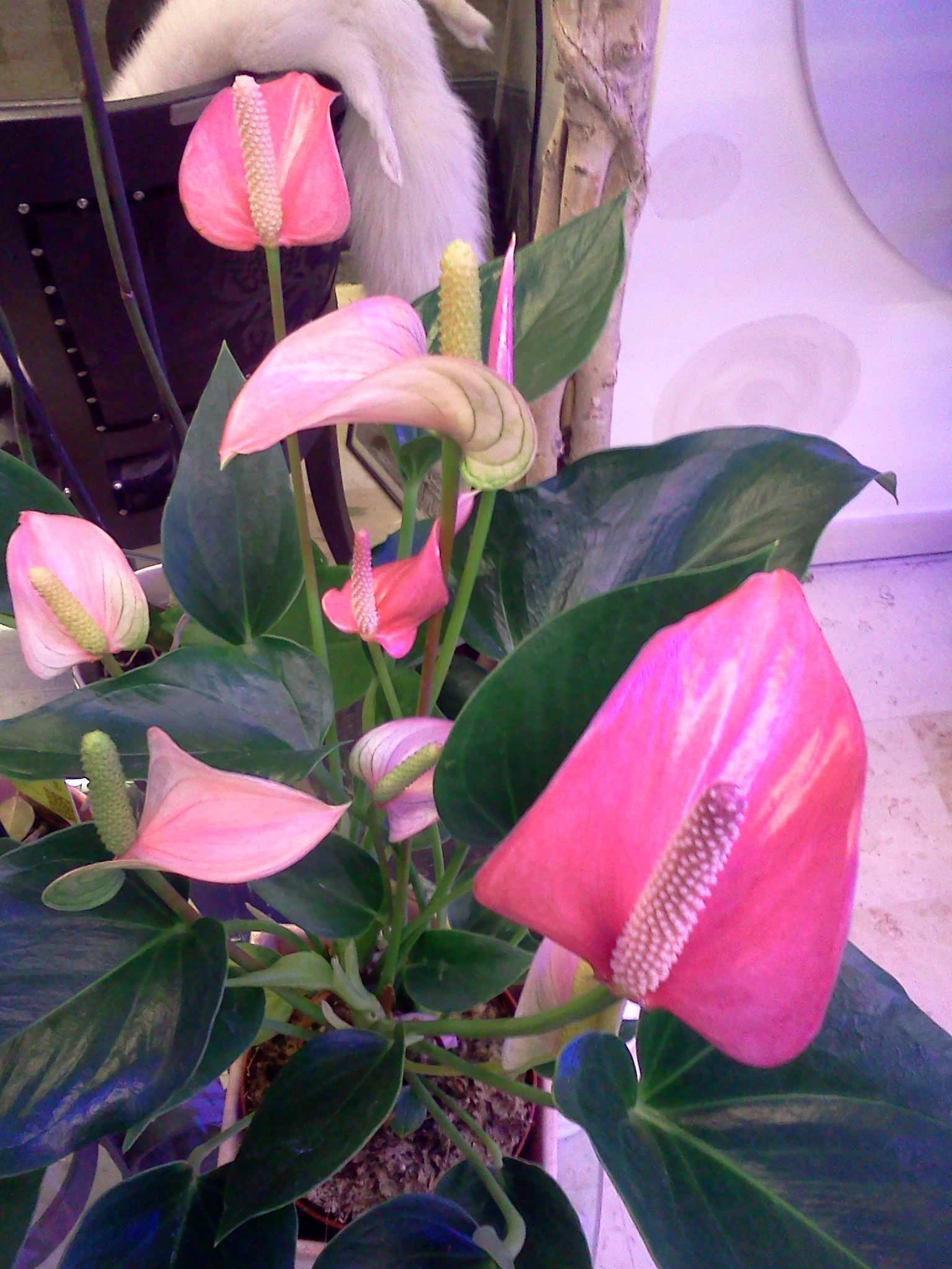 fiore Anthurium Pink Fever