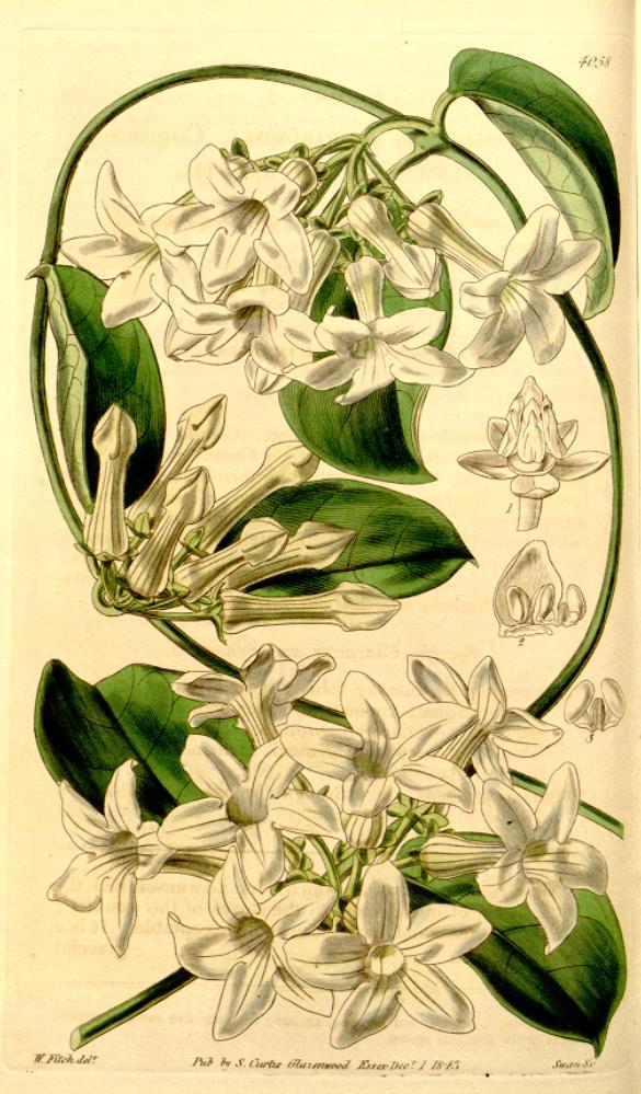 botanical Stephonitis