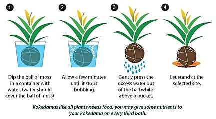 how to wet a kokedama