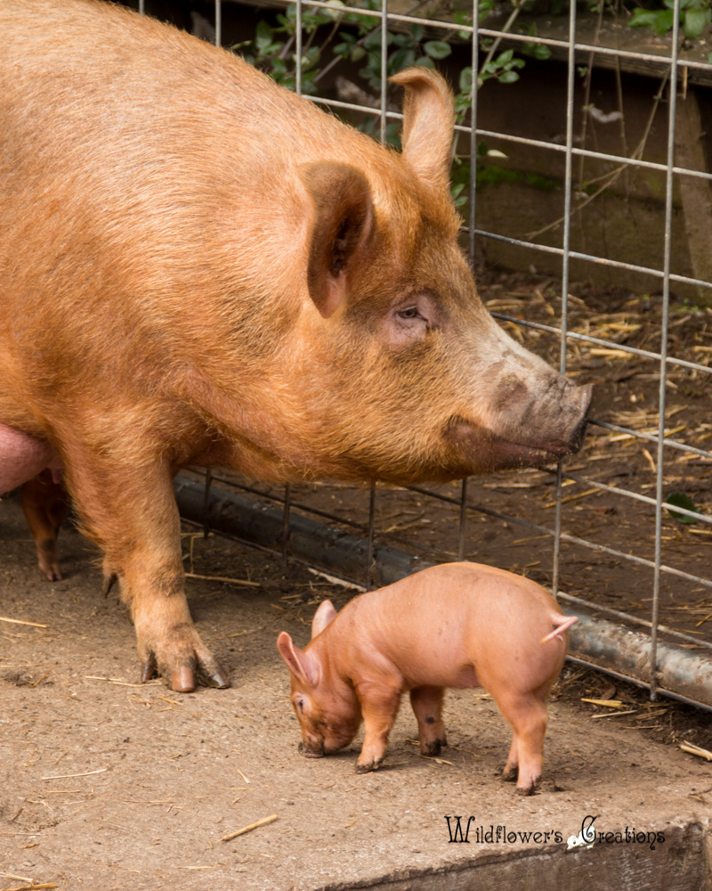 Hidden Villa, Momma Pig & Piglet