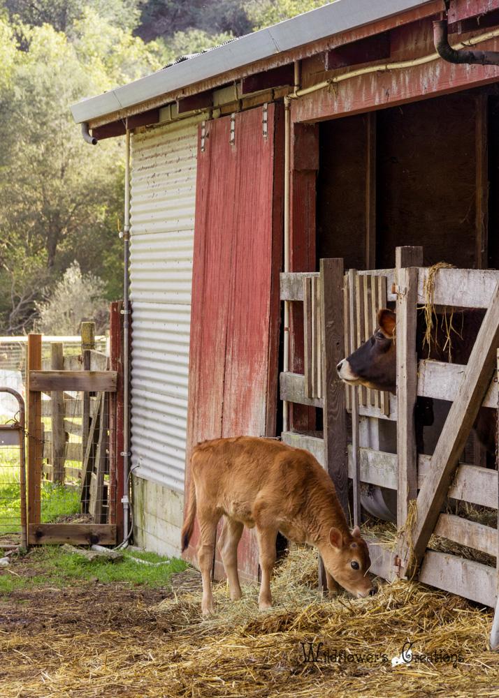 Hidden Villa - A Cow calf 2013-02h.jpg