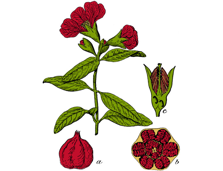 pomegranate_color.jpg