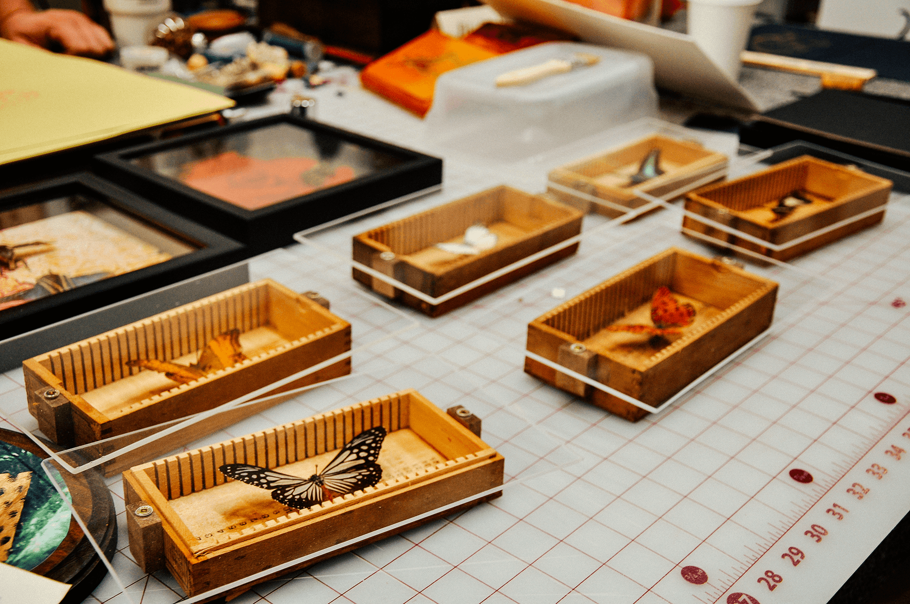 Placing finishing touches to hand collected butterflies mounted in antique microscope slide cases.