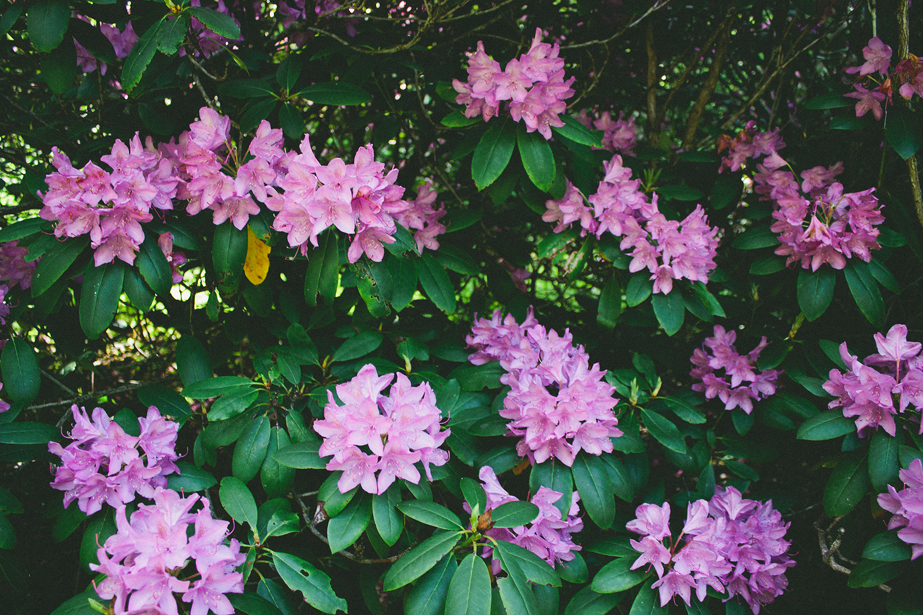 Catawba Rhododendrons