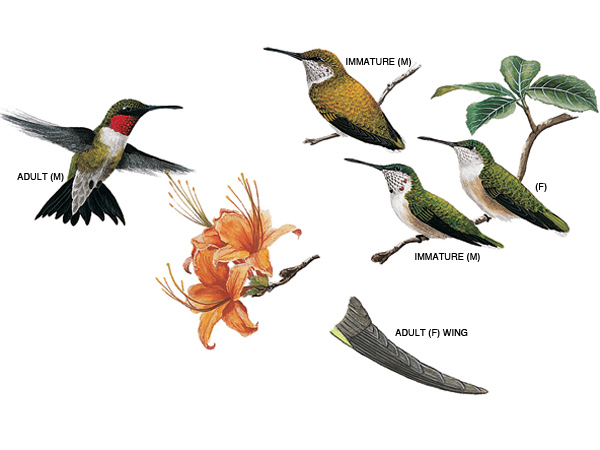 ruby-throated-hummingbird_16879_600x450.jpg