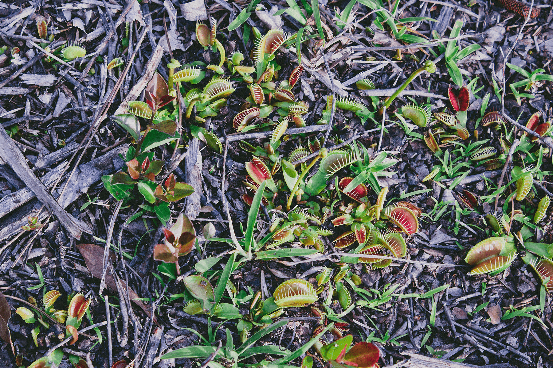 "The pitcher plants seen above  weren't the only carnivorous plant we encountered. The ground was also covered in Sarracenia psittacina and Venus Fly Traps.  Like most people the first carnivorous plant I ever heard of was the Venus flytrap. We've probably all seen the doomed individuals in little plastic terraria for sale in various stores -- most probably don't live very long at home, due to the 'houseplant' myth, these dudes need direct sunLIGHT! Venus flytraps are native to just a few places in the Carolinas but they are found in wet bog like areas through out the Apalachicola region. So yeah they aren't native, but they kinda got their ""green card"" because they adapt so well and haven't invaded our swamps and savannas."