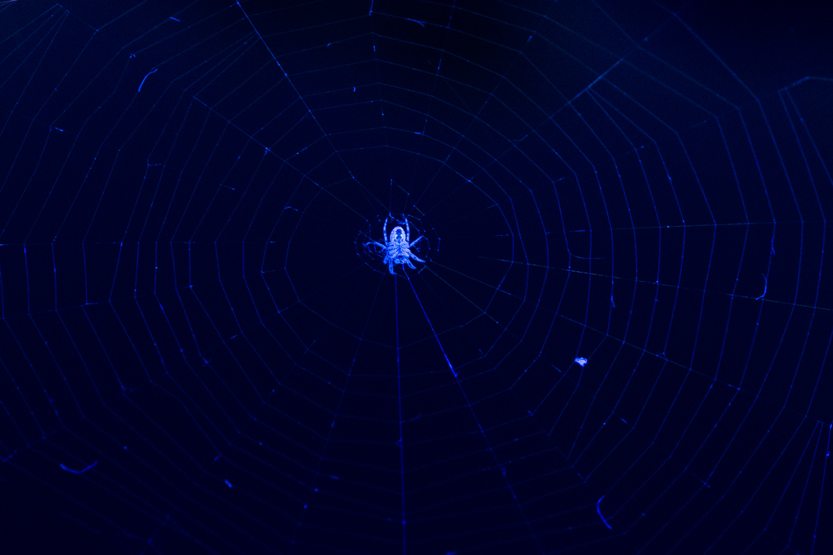 And finally, a spider on the bridge, illuminated by its bluish light.  Lens: Olympus 45mm/1.8