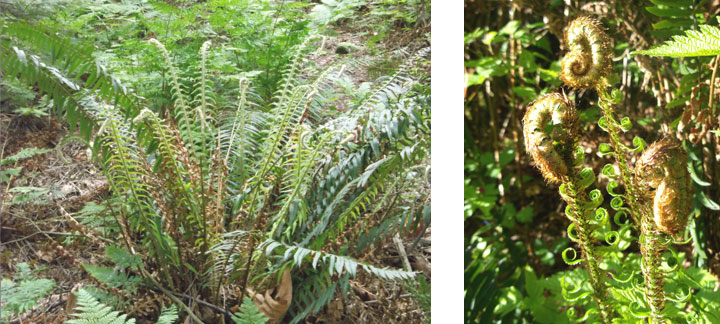 Left: a sword fern hanging out in the forest. Right: some hairy sword fern fiddleheads and curly leaflets unrolling in the sunshine.