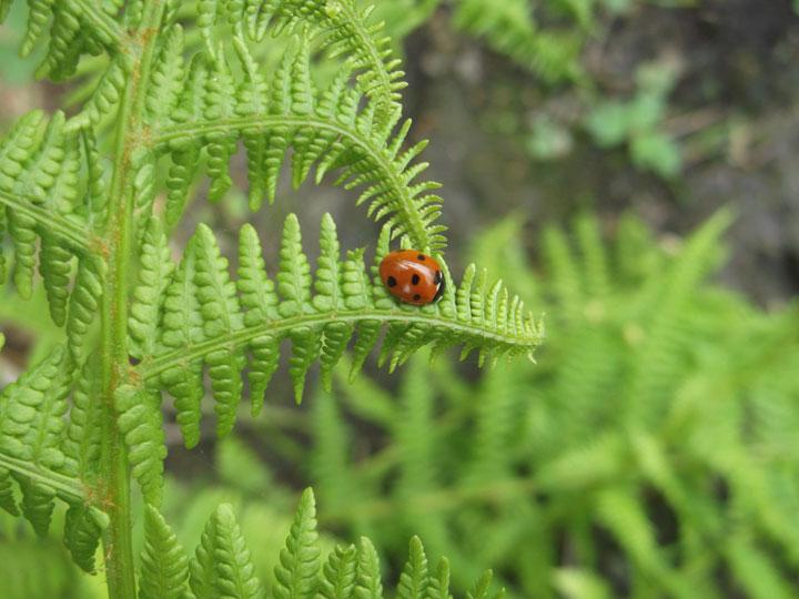 A ladybug on a lady fern!