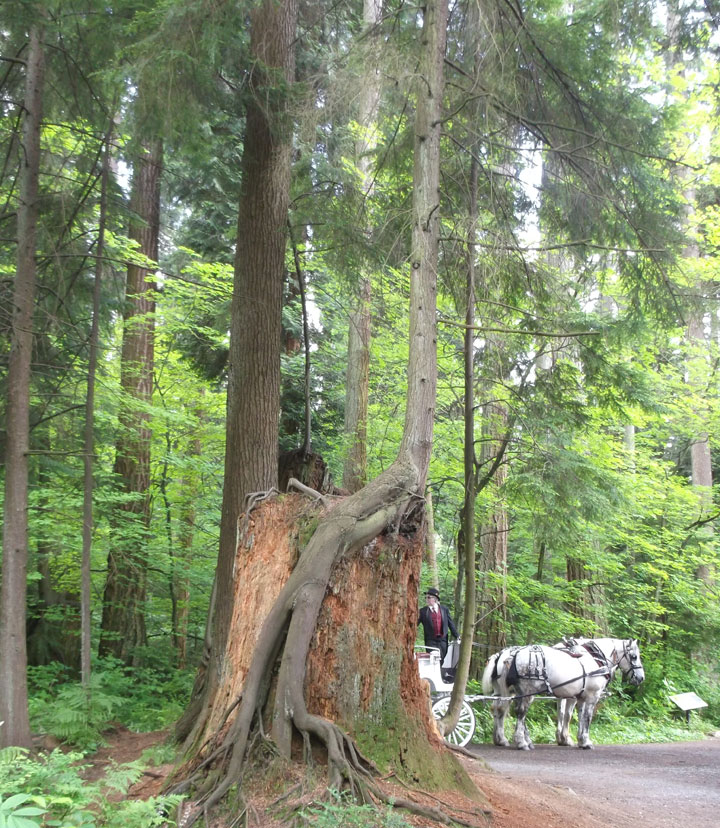 The very alive roots of a hemlock tree cascade over the sides of a decaying tree stump (with bonus horse!).