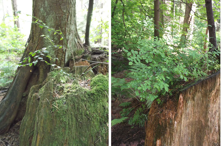 Here are a couple examples of red huckleberry shrubs growing from tree stumps. They are the bright green plants with the small oval-shaped leaves. Unfortunately, they aren't growing berries yet!