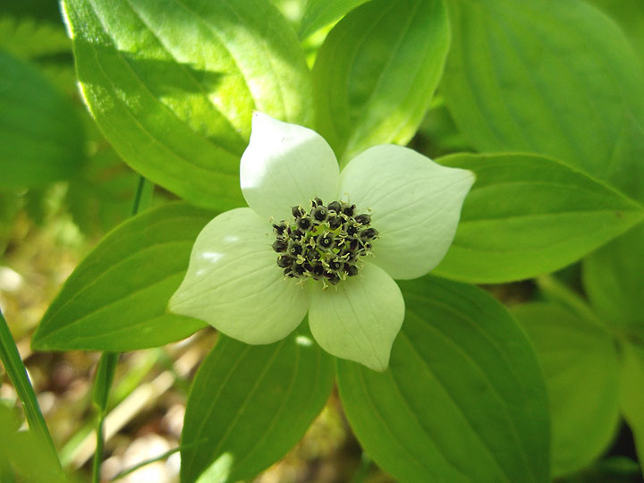 "A bunchberry, or dwarf dogwood ( Cornus canadensis ). Note that the white ""petals"" are actually bracts, or modified leaves - the flower buds are in the middle, waiting to explode their pollen into the air."
