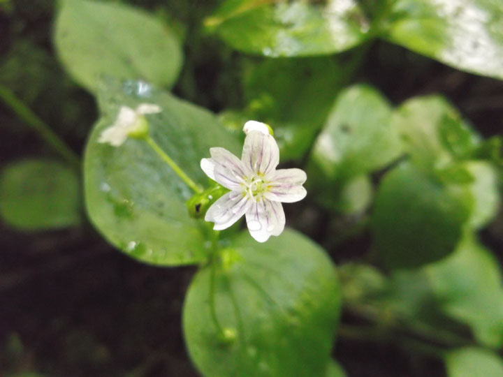 The striped flower of the miner's-lettuce plant ( Claytonia perfoliata ).