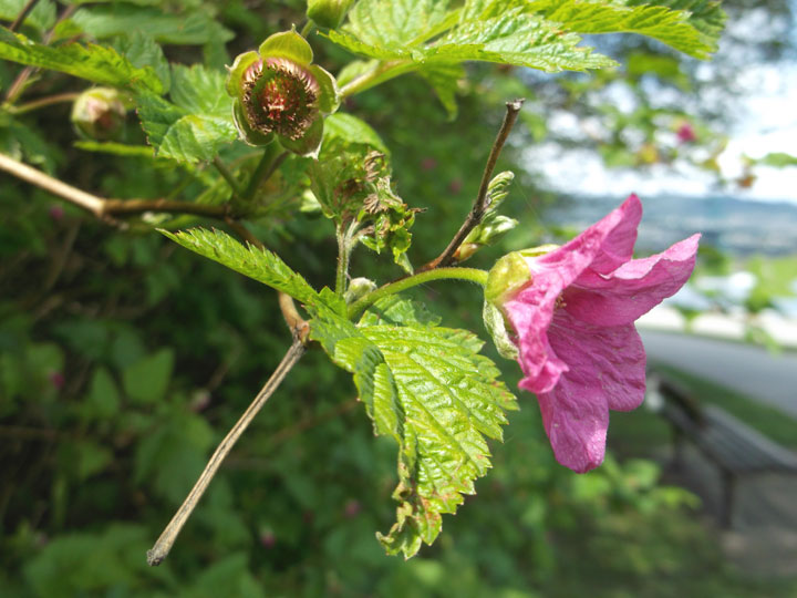 A salmonberry flower blooming near the seawall in early April.