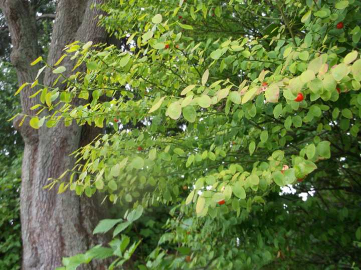 Can you see the little red berries hiding under the leaves of this huckleberry shrub?