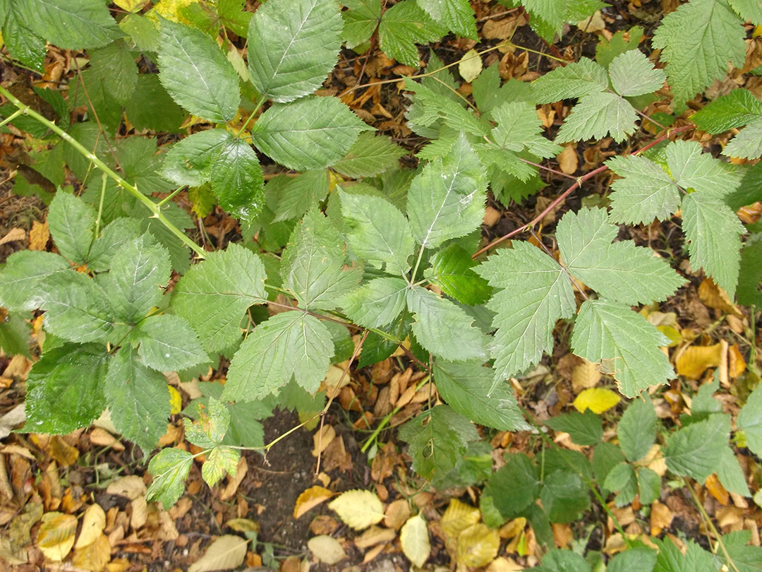 Can you guess which branch belongs to a salmonberry shrub and which belongs to a Himalayan blackberry shrub?