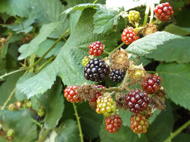 A cluster of blackberries at various stages of ripeness near Lost Lagoon in Stanley Park.