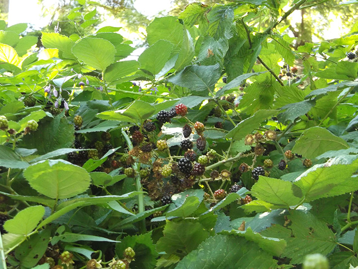 The top of a tall Himalayan blackberry shrub - most of these berries are out of my reach!