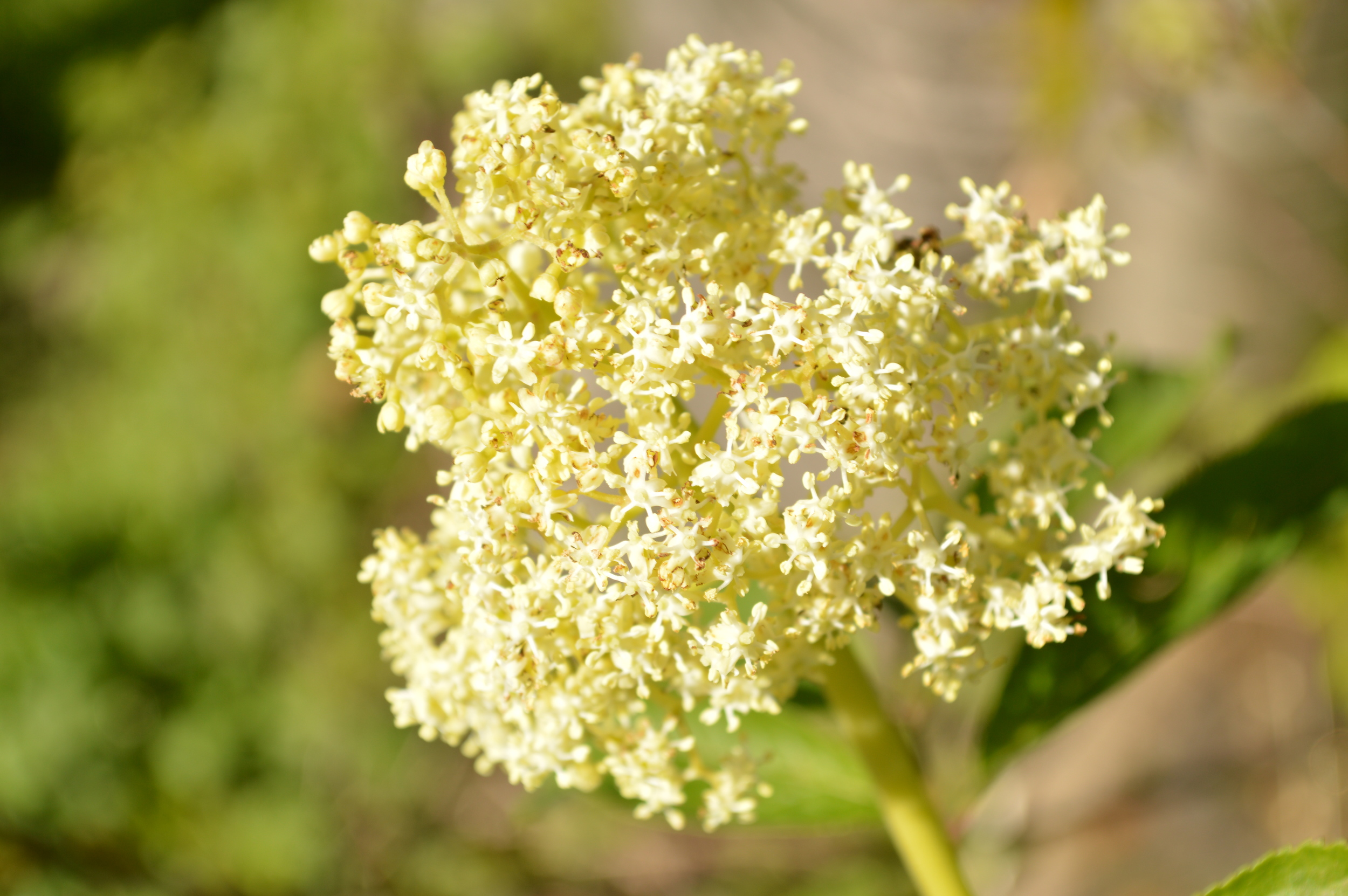 An umbel of elderflowers adds a cheery splash to forest walks.