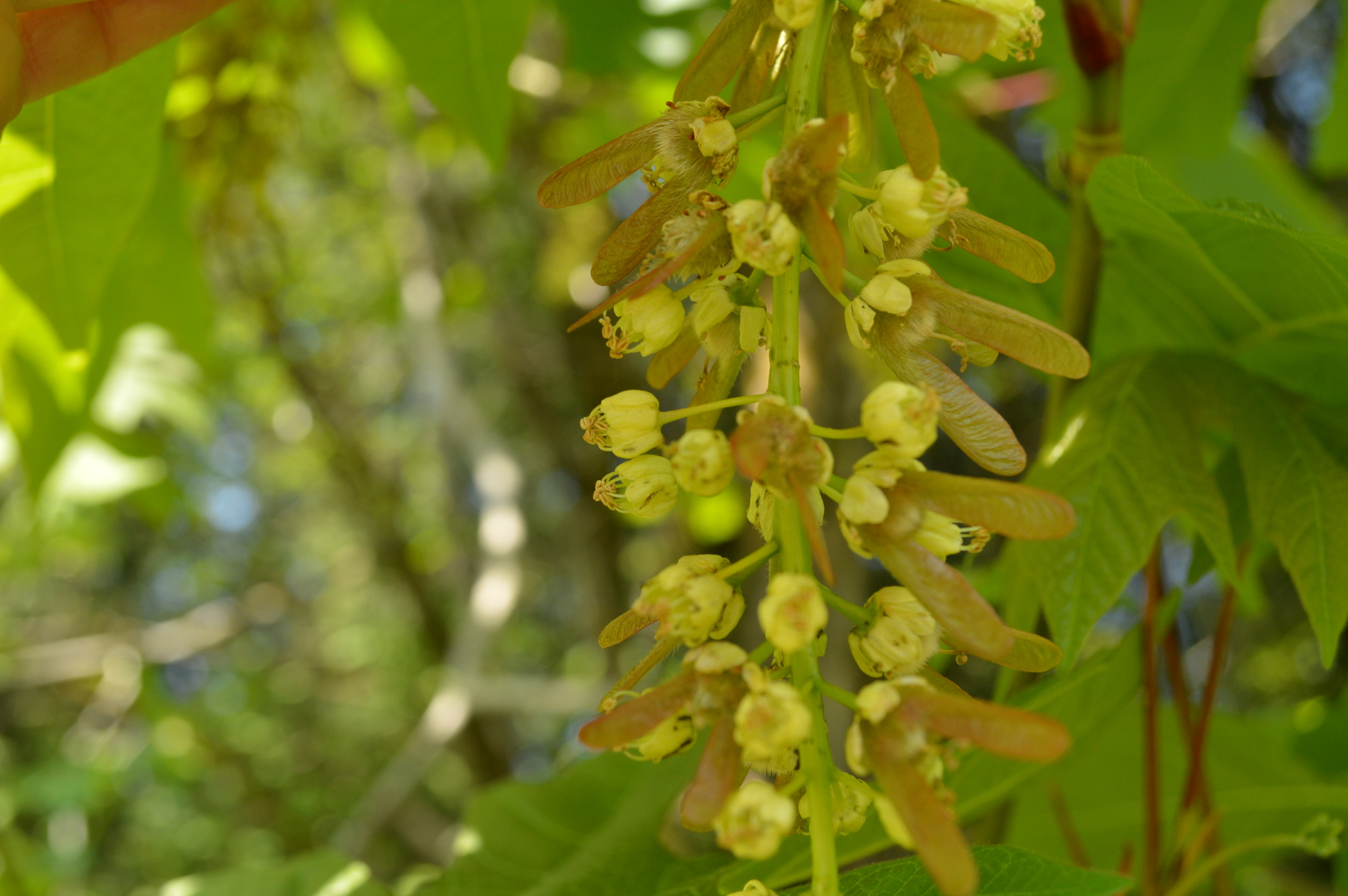 Pollinated maple flowers are becoming winged fruits.